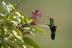 Green Throated Carib