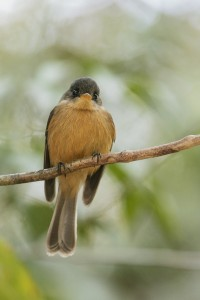 Saint Lucia Pewee, a delightful small flycatcher; green on top and orange underneath which sallies out from its favored perch in search of prey before returning to the same branch.